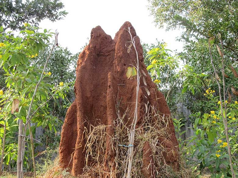Termite baits are effective when colonies shrink