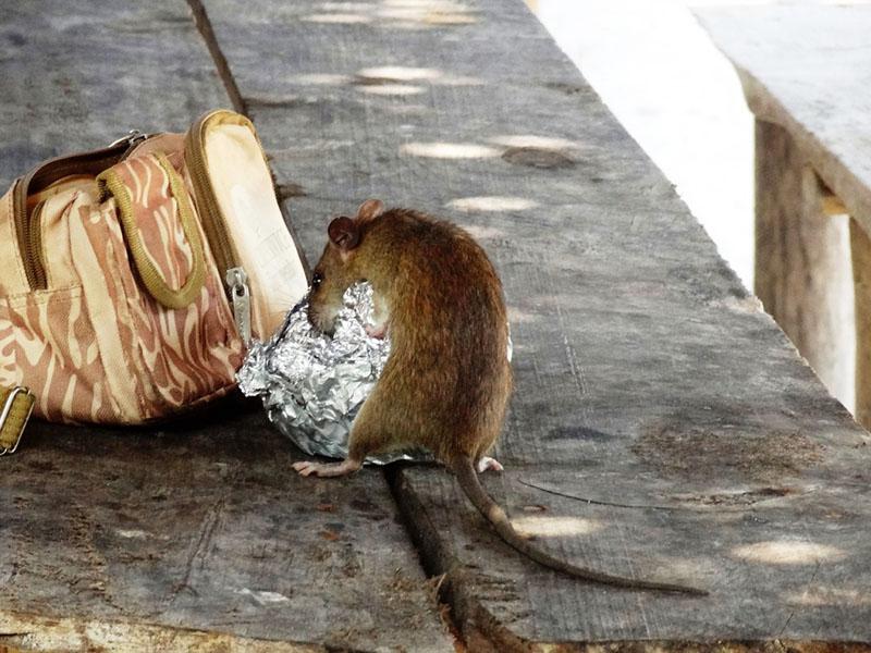 Rat control in australia