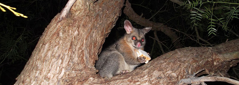 possums in australia