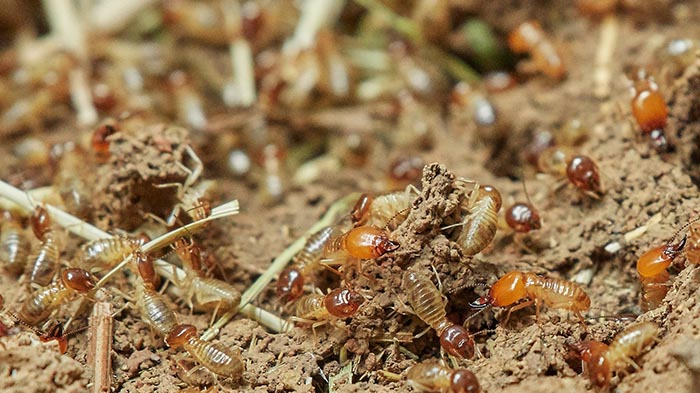 Pest inspections find termites in Logan homes