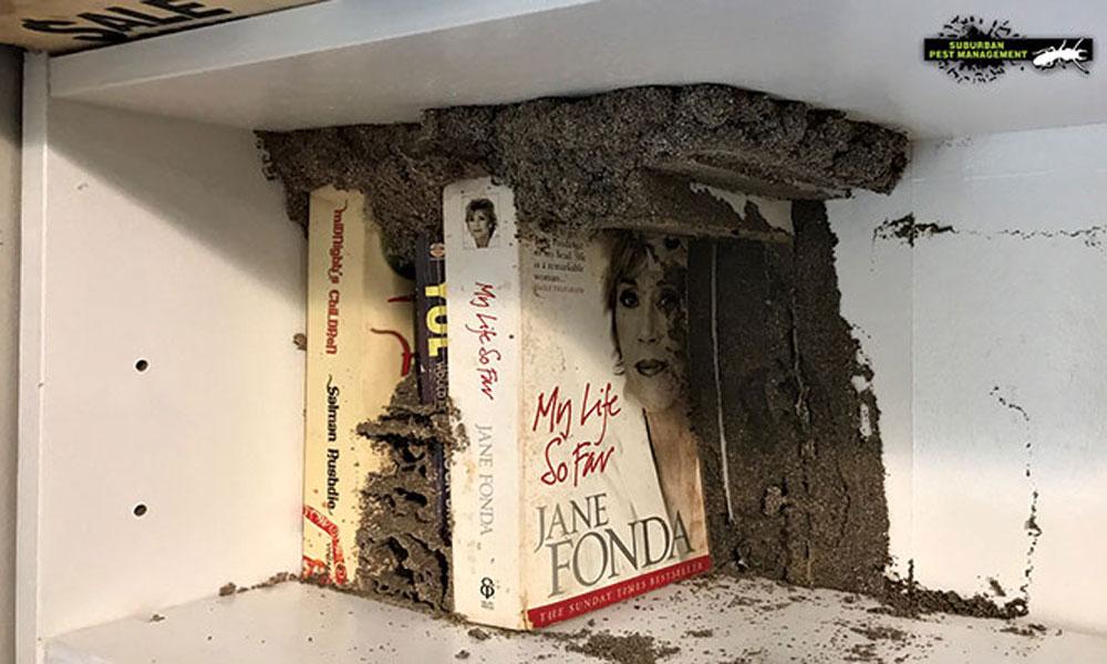 Termite coptos found in a bookshelf in a home - Suburban Pest Management