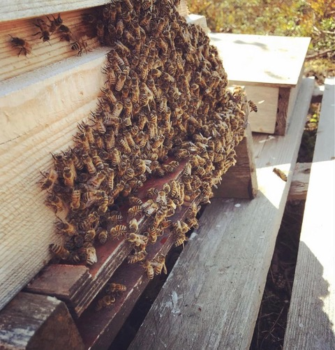 Bees working on a hive