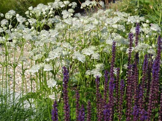 Salvia met Astrantia
