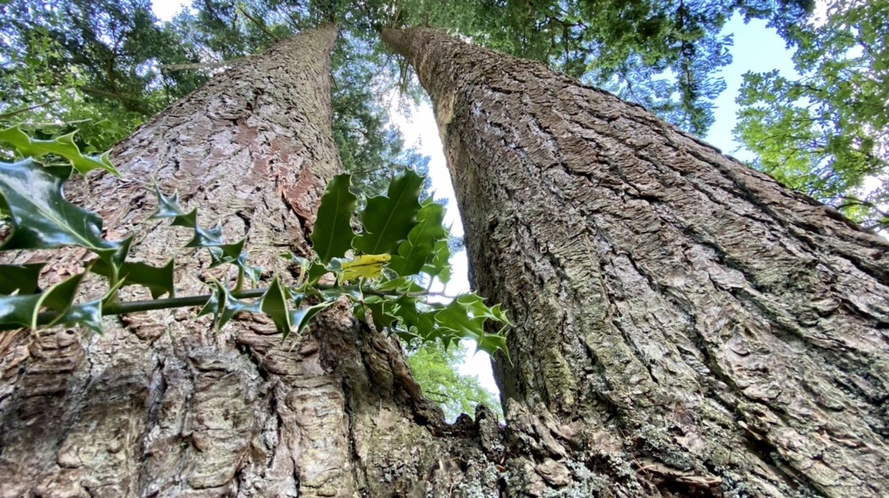 Towering Pines…