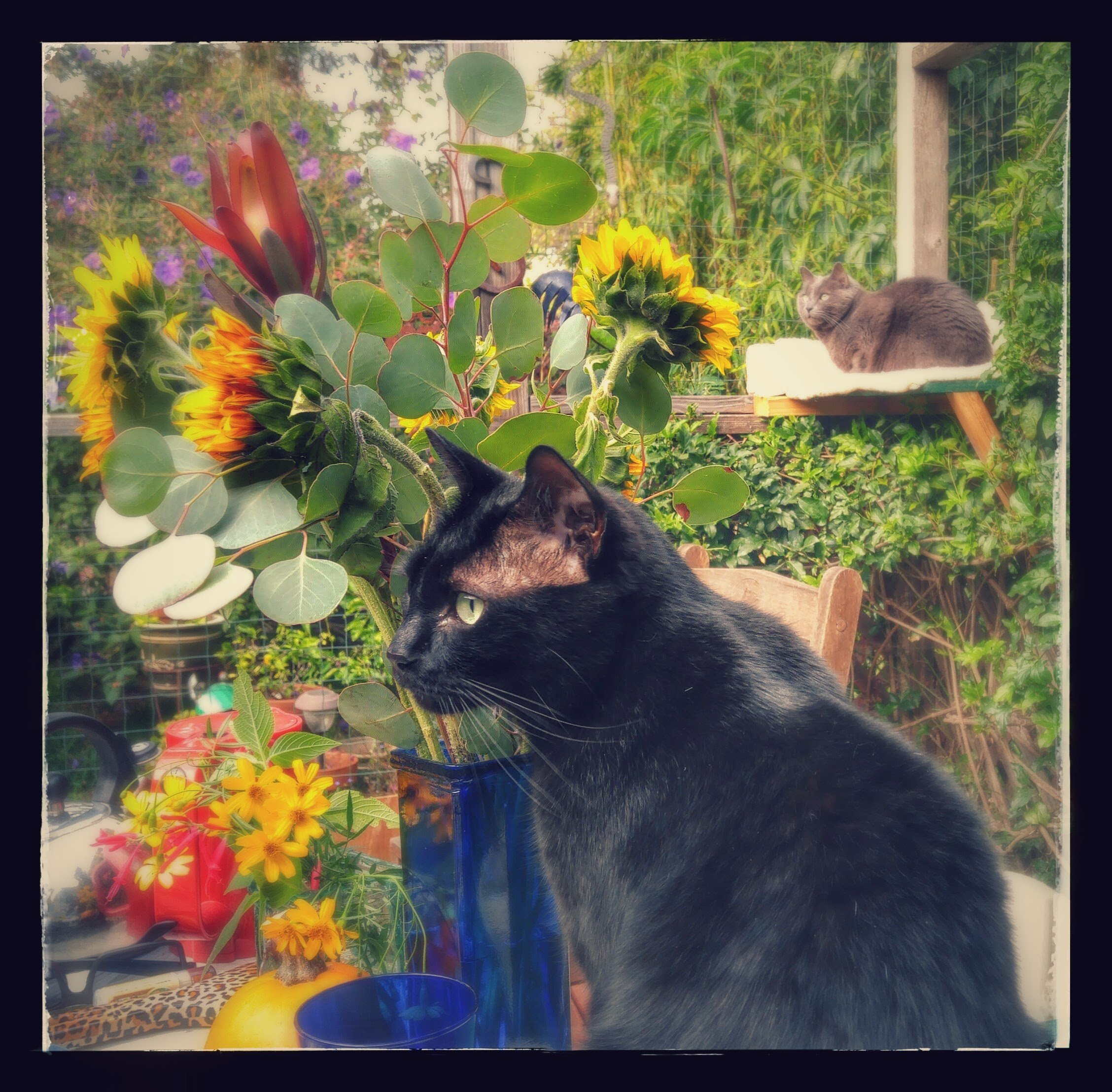 black cat in garden with gray cat in background - AnimalBiome