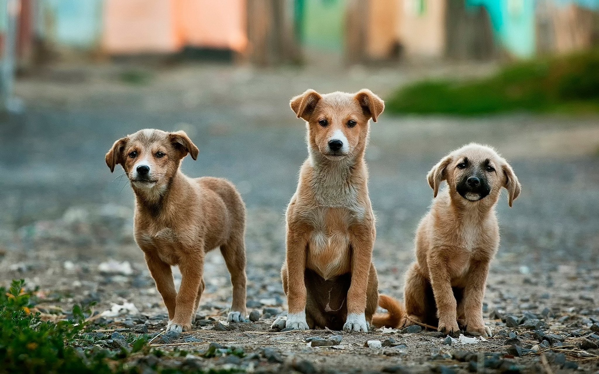 Stray puppies without their mom may be missing key bacteria for a healthy gut