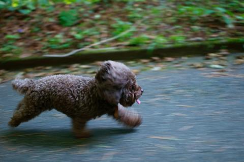 dark brown dog running on sidewalk - AnimalBiome
