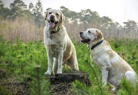 Older Golden Retriever Dogs