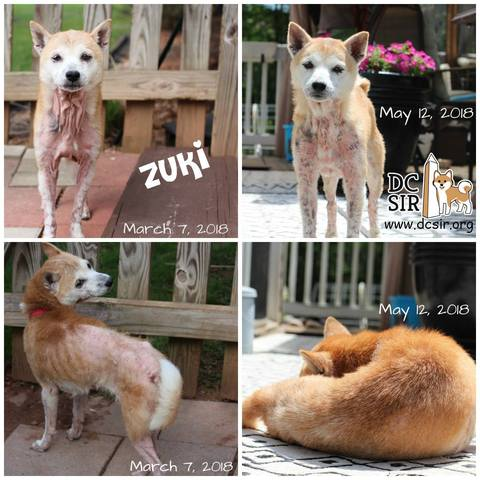 Zuki shown before FMT treatment & during treatment, with great improvements in skin health and fur growth
