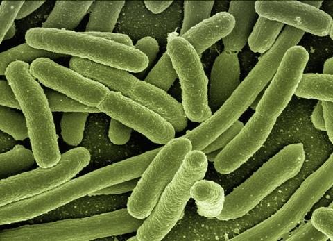 Bacteria within the gut microbiome