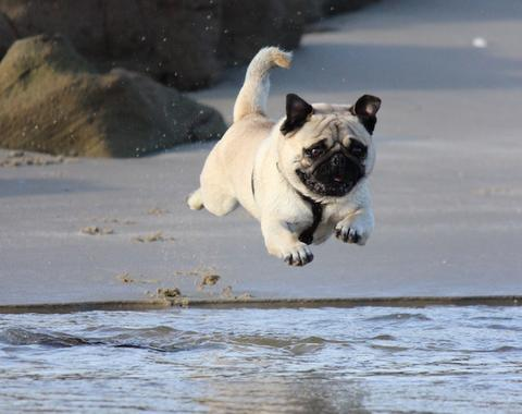 Cute pug dog jumping into water
