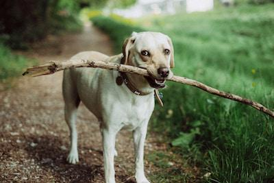 Dog holding a big stick