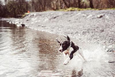 black and white dog running through river - AnimalBiome