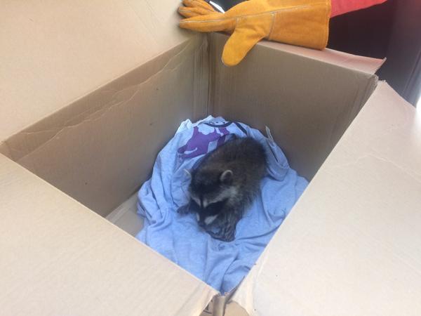 baby raccoon laying in cardboard box - AnimalBiome