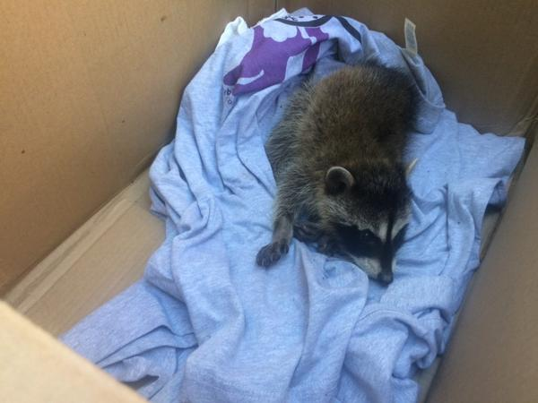 Rescuing a Baby Raccoon!