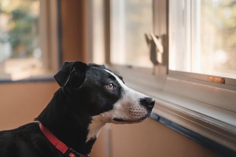 Dog looking outside a window