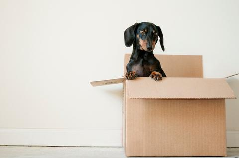 Dog popping out of a box