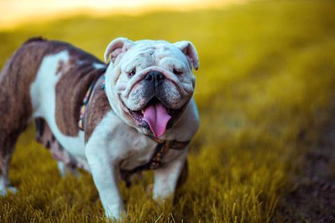 Bulldog outside