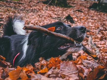 Dog playing in leaves with a stick in his mouth