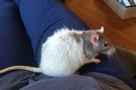 Nibble the pet rat