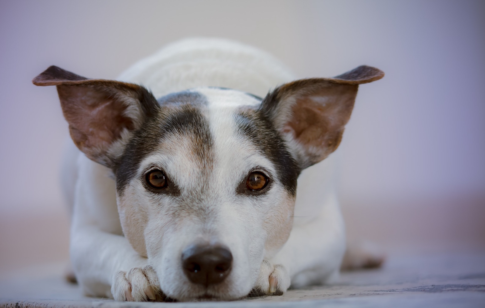 Dog Anxiety & Aggression and Links to the Gut