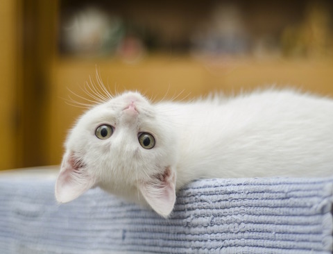 Cute white kitten laying down