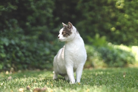 Cat ouside standing in the green grass