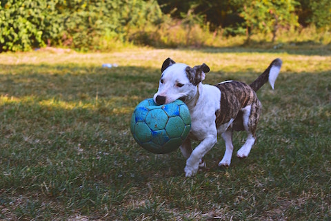 Cute dog carrying a ball in her mouth