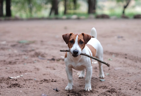 Dog holding a stick in his mouth