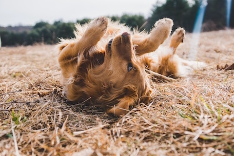 Cute dog laying on the ground, do dogs need a digestive enzyme supplement