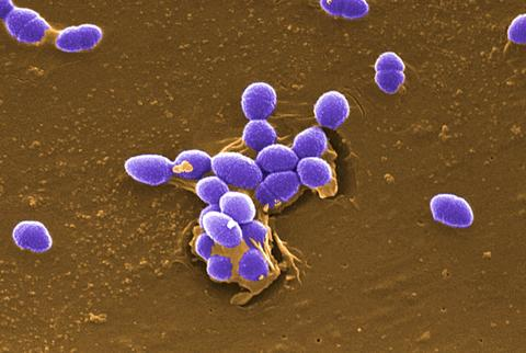 purple germs with brown background - AnimalBiome