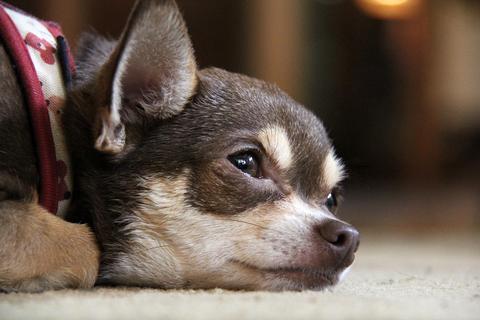 Chihuahua dog - AnimalBiome