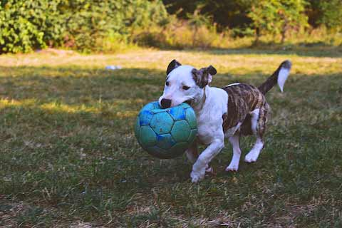 dog with blue soccer ball in mouth - AnimalBiome