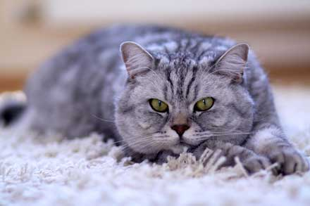 B12 Deficiency in Cats: The Role of the Gut | AnimalBiome®