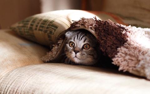 Cat with anxious behavior hiding under blanket