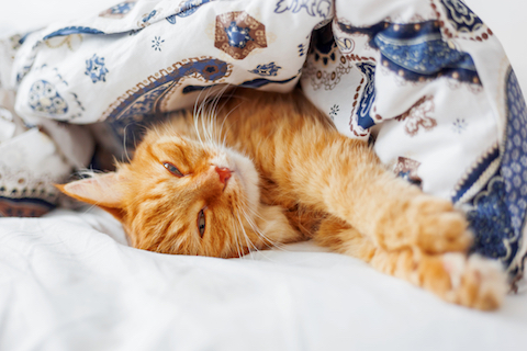 Sweet ginger cat sleeping in a safe place to ease anxiety