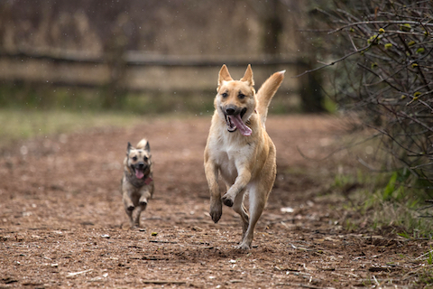 Dogs playing together, excercise promotes good gut health