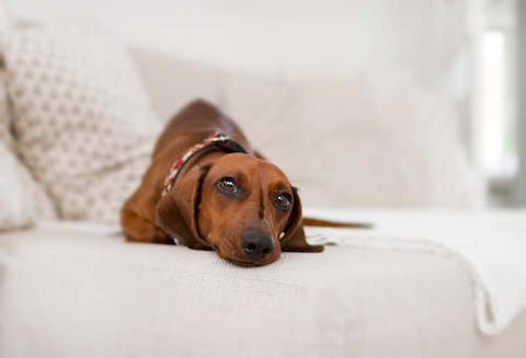 Dog symptoms of diabetes