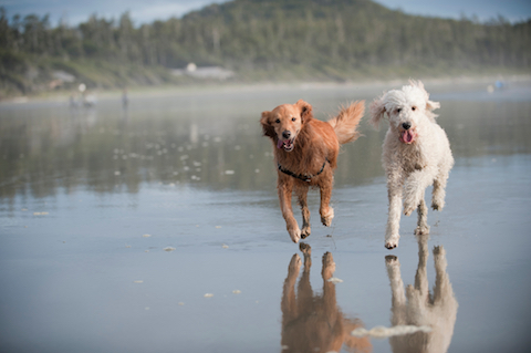 Happy dogs running