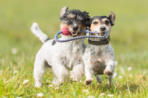 Two cute small dogs playing together