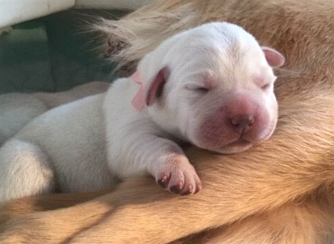 A Leader Dogs for the Blind newborn puppy