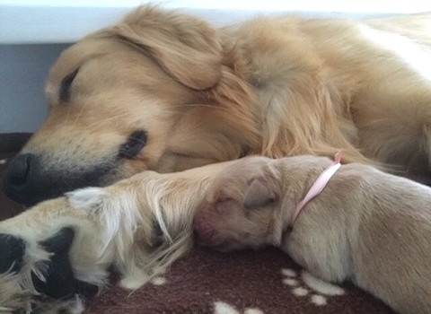 Mother dog and her puppy sleeping.