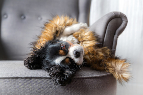 IBD in dogs, how dogs are diagnosed