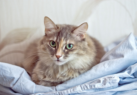 There is a treatment for FIP, but it's hard to get. It's called GS-441524.