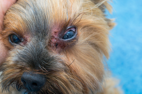 Picture of dog with Malassezia fungal infection around eyes.