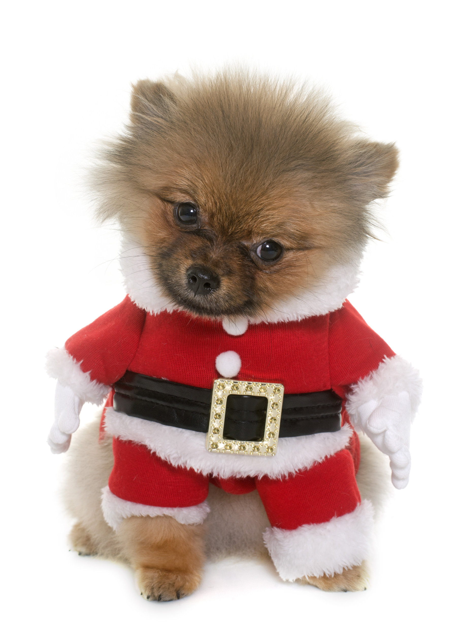 Dog in a Santa Suit