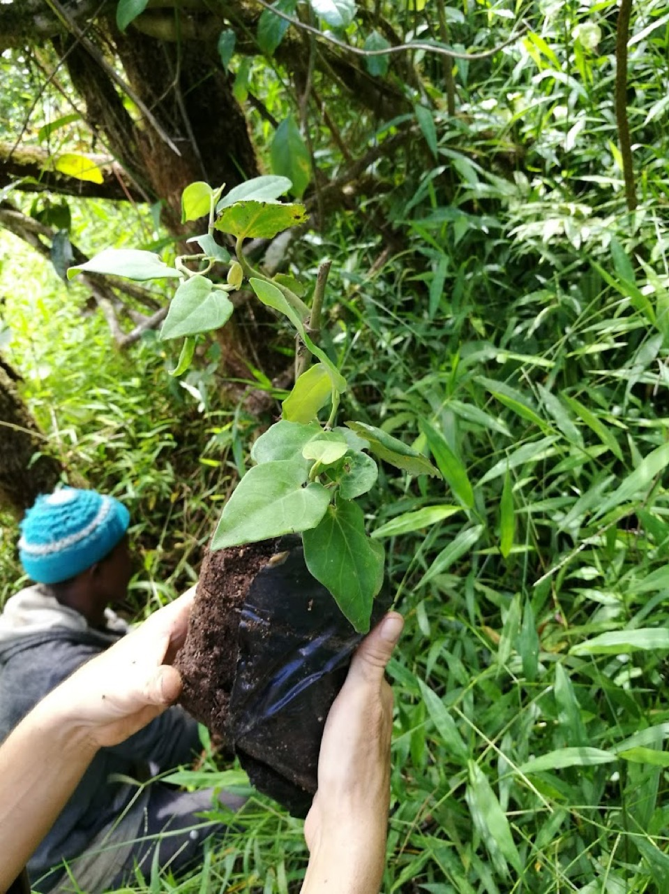 Domestication project of the wild pepper sustainability