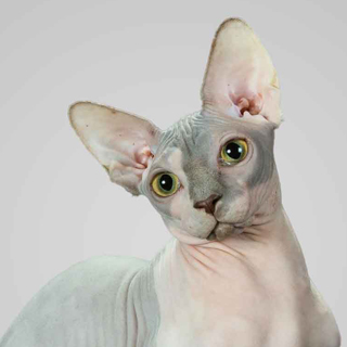 Sphynx-cat-Supreme-Grand-Champion-Yoruba-Cattery-Julius-of-Annie's