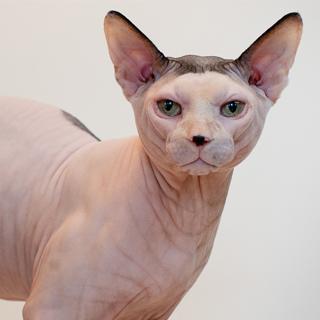 Sphynx-cat-champion