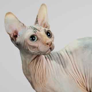 Sphynx-cat-champion-Silver-Bell